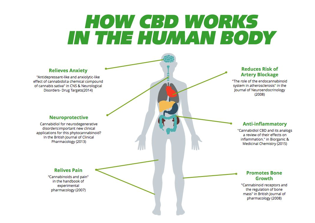 How CBD Works in the Human Body